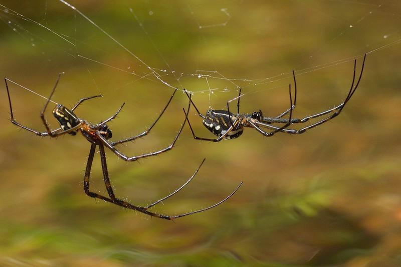 Big-bellied-Spiders-01.jpg
