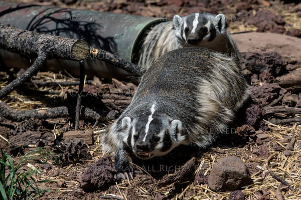 Badger and Otter Gallery