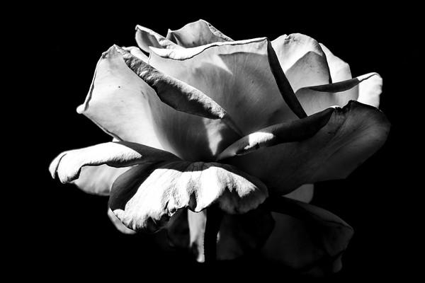May 19 - White rose.jpg