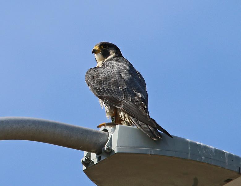 Falcon newburyport 2020.jpg