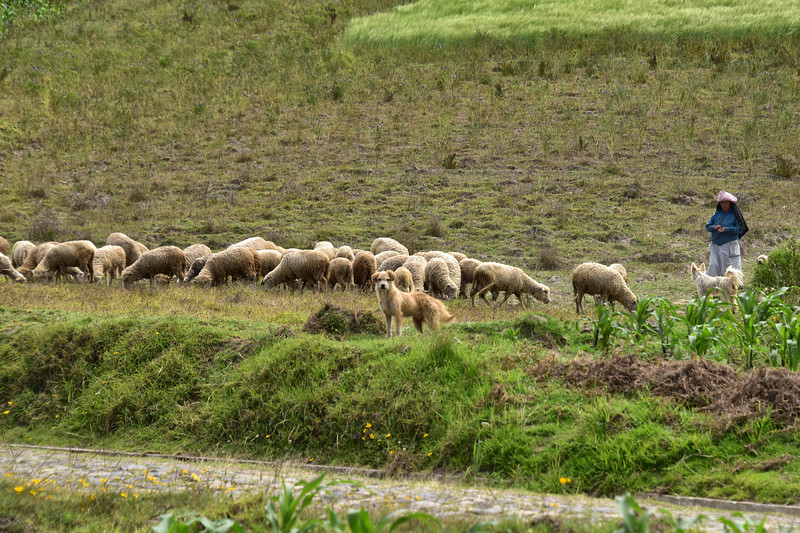 ECQ_0038-Guarding sheep.jpg