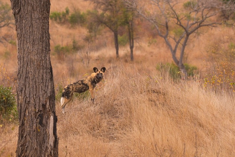 Wild Dogs6.jpg
