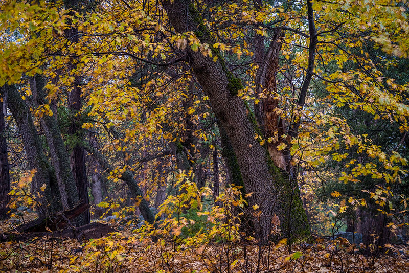 San_Bernardino_Mountains_Fall_Color_Trees_DSC3343.jpg