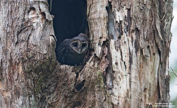 Barn OwlsFamily Tytonidae