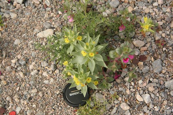 Death Valley Wildflowers 2005