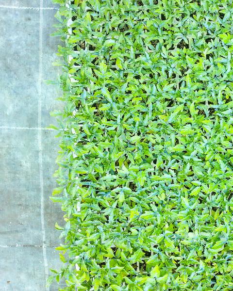 calemone plants 6.jpg
