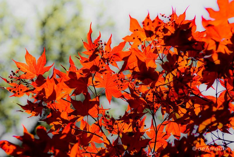 """The Japanese Maple"" _DSC0298aeamador©-MDSC"