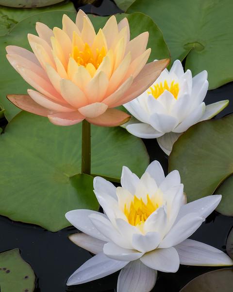 lotus-06.jpg