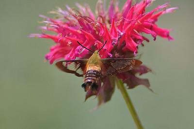 Hummingbird & Hummingbird Moth