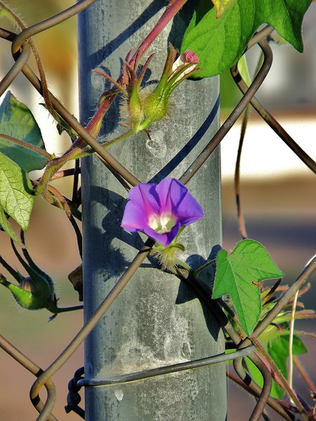 Purple Vine On Fence Post