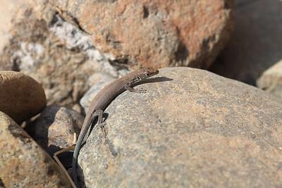 Blue-tailed Oman Lizard