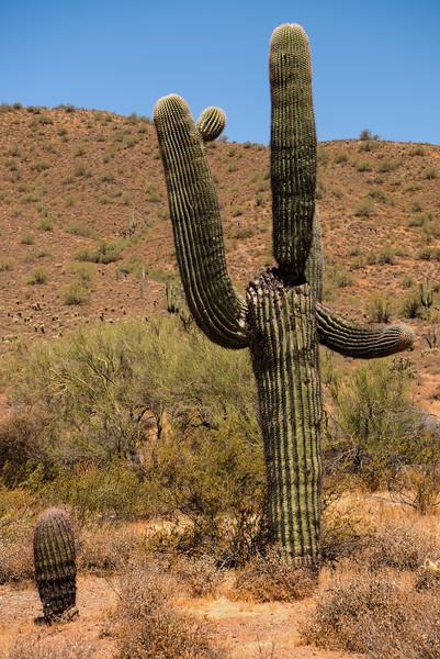 Saguaro at Phoenix Sonoran Preserve