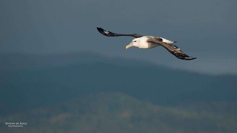 Shy Albatross, Wollongong Pelagic, NSW, Aus, Aug 2014.jpg