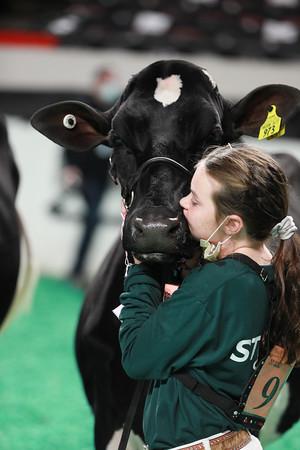 Holstein Heifers
