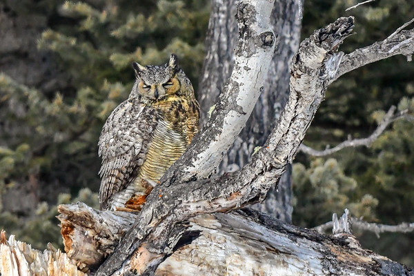 4-9-18 Great Horned Owl - Being Lazy
