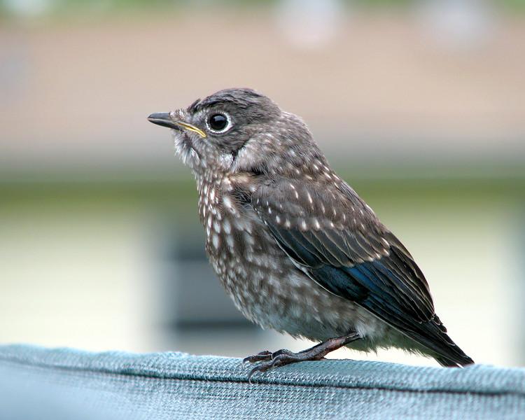 bluebird_fledgling_2175.jpg