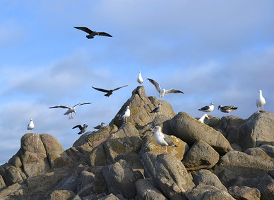 Seaguls in Pacific Grove, Ca