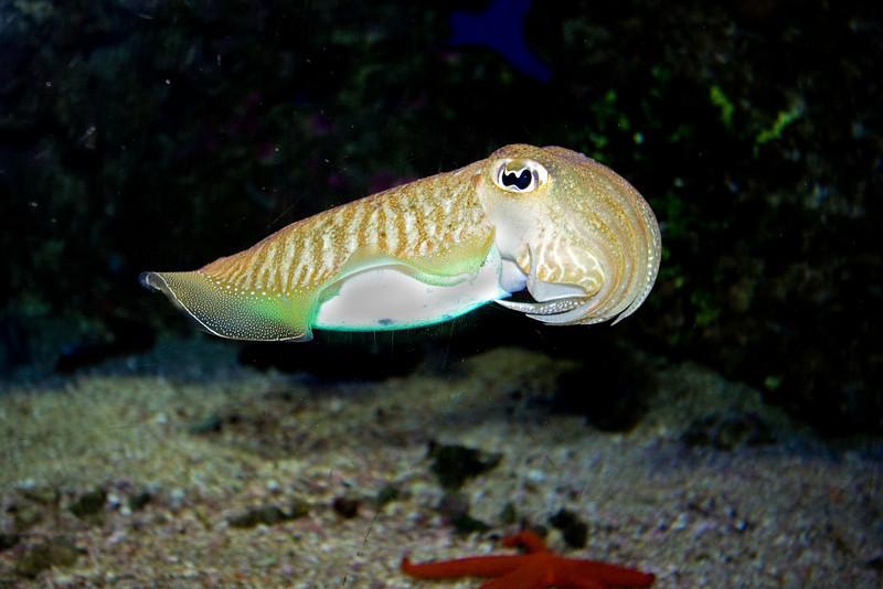 Cuttlefish 1.jpg