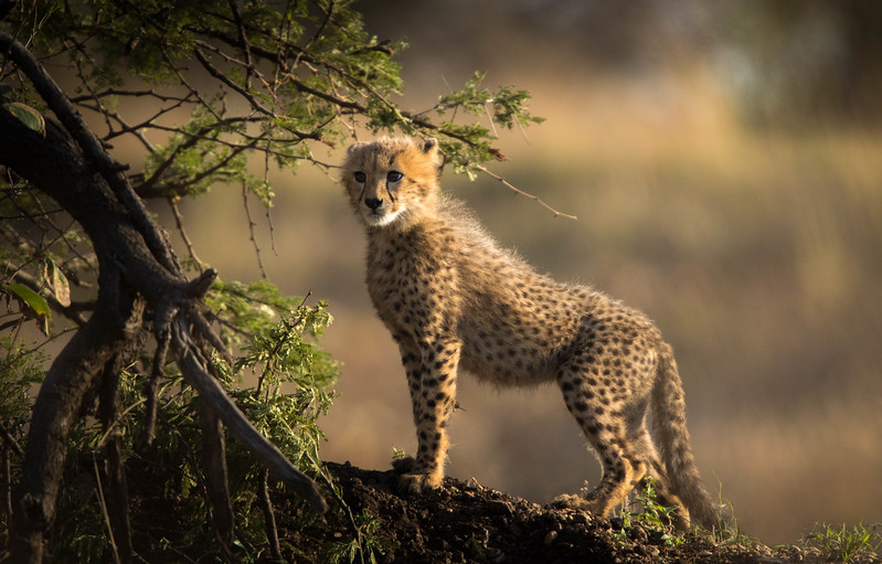 Cheetah cub, Serengeti National Park