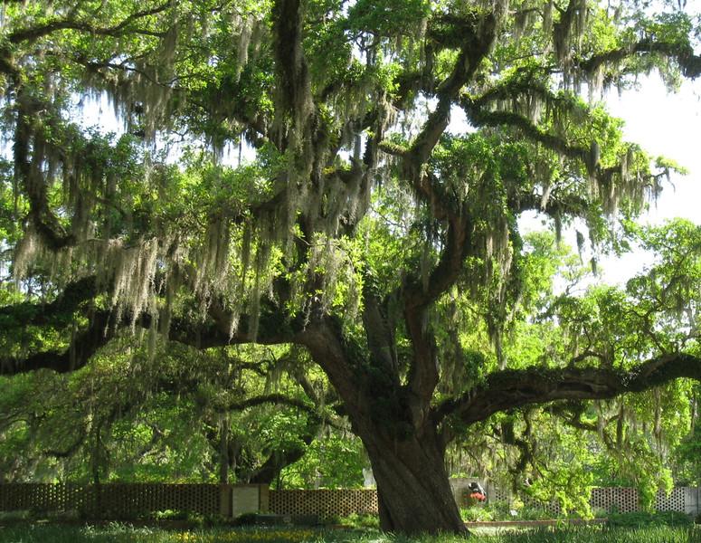 Southern Tree_PatHoffman.jpg