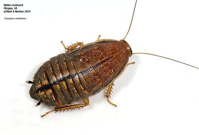 Zonioploca medilinea (Tepper, 1893)