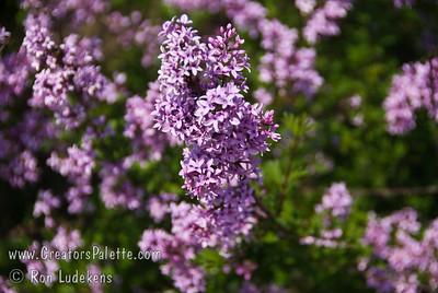 Persian Laceleaf Lilac - Syringa x laciniata