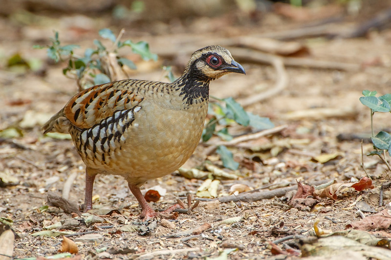 Bar-Backed Partridge female
