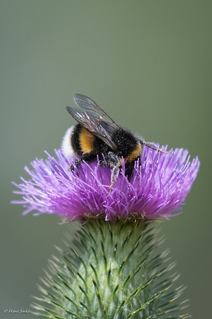 Bumblebee, Buff-tailed