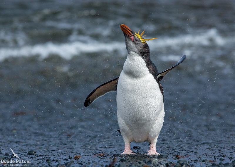 Royal Penguin - Juvenile with the darker face.