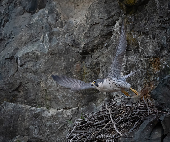 _6000516 Peregrine Falcon female take off.jpg