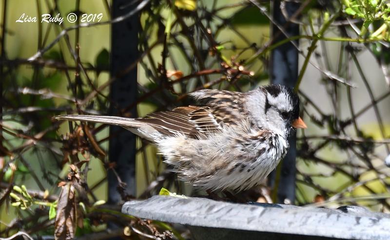 Harris's Sparrow - 5/1/2019 - Backyard Sabre Springs