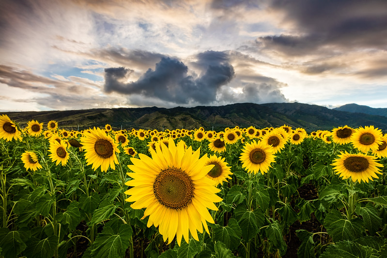 Maui Sunflowers
