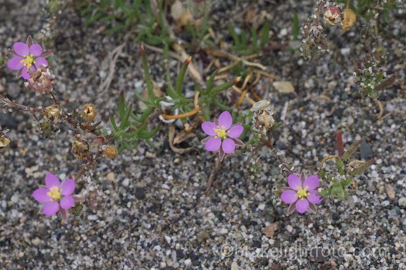 Rocky Sea-spurrey (Spergularia rupicola)