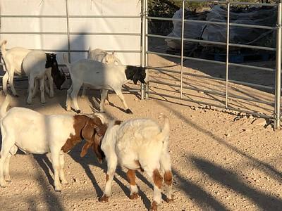 2019 JAF Goat Roping