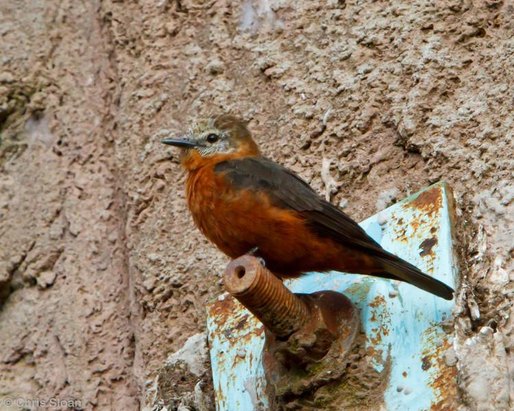 Cliff Flycatcher at La Escalera near Tarapoto