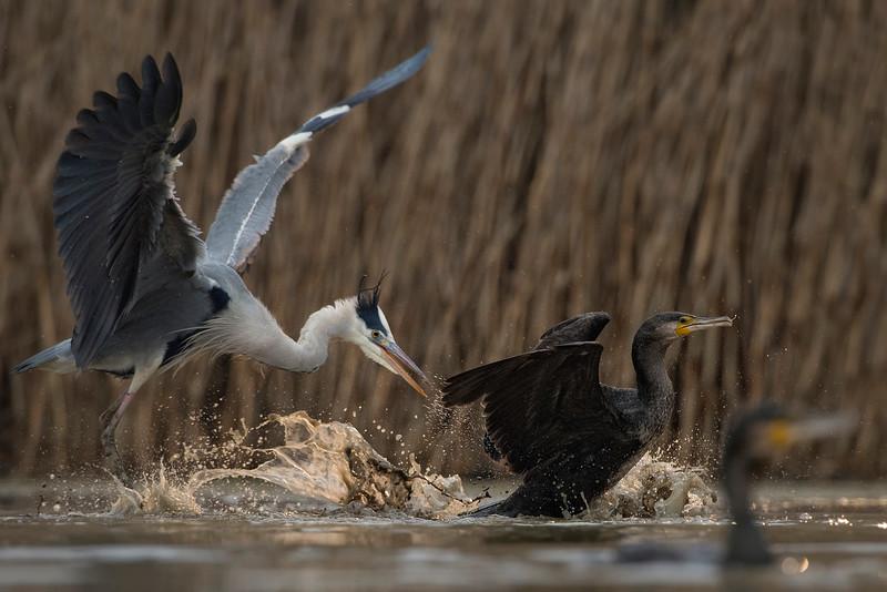 Great Cormorant & Grey Heron