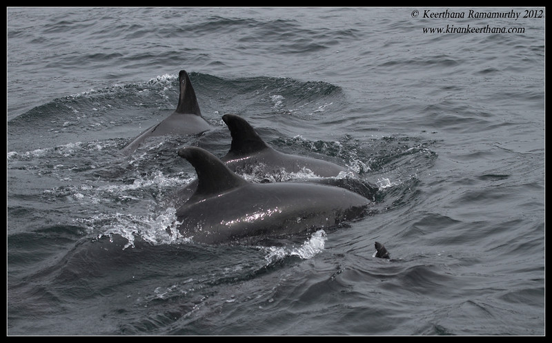 Common Dolphin pod, Dana Point Whale-watching trip, Orange County, California, January 2012