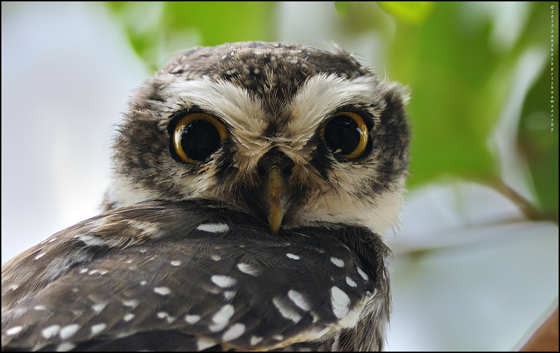 Up close..!...Spotted Owlet....