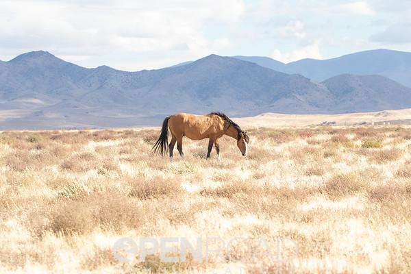 Utah Wild Horses