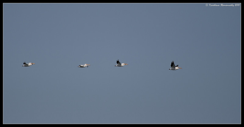 American White Pelicans flying over, South Bay Salt Works, San Diego County, California, March 2010