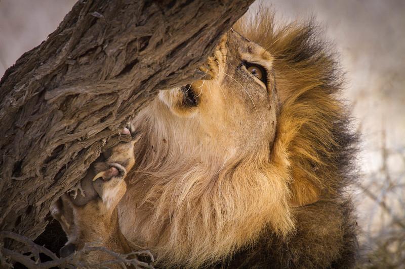 Male lion scratching tree, Etosha National Park