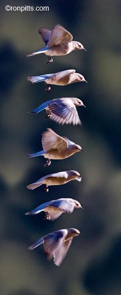 BLUEBIRDING