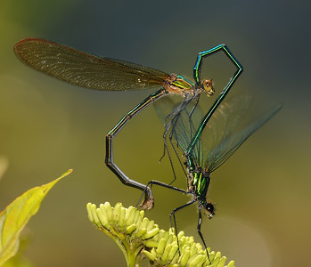 Calopterygidae (Broad-winged Damselflies)