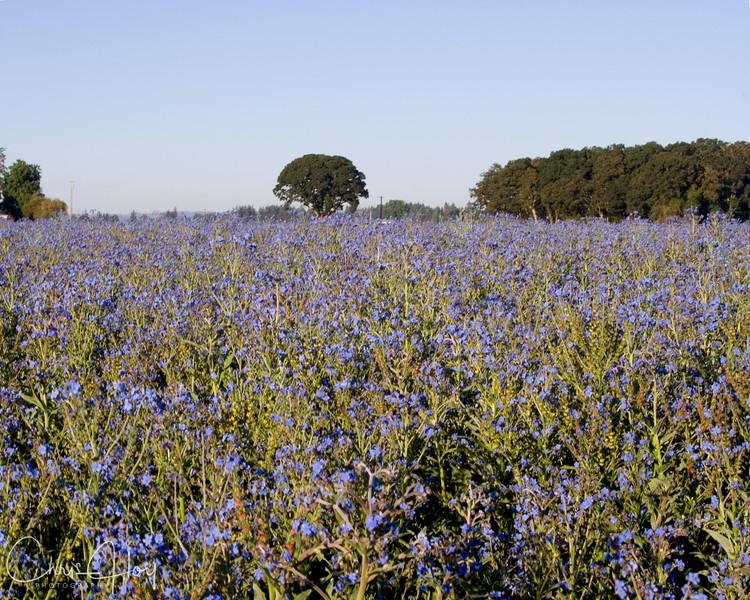 Field of Blue near Salem, Oregon