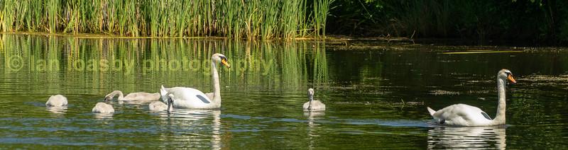 The marina Swan Family
