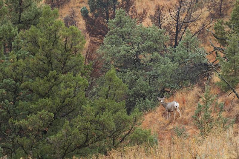 Mule Deer Teddy Roosevelt National Park ND IMG_6592.jpg