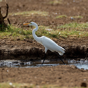 Ertetthegre (Great egret)