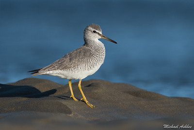 Grey-tailed Tattler (Uncommon Arctic Migrant)