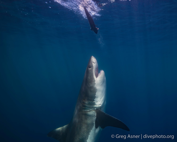 Great White Sharks off Guadalupe Island