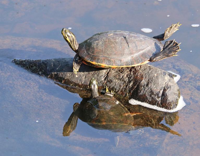 Turtle doing yoga